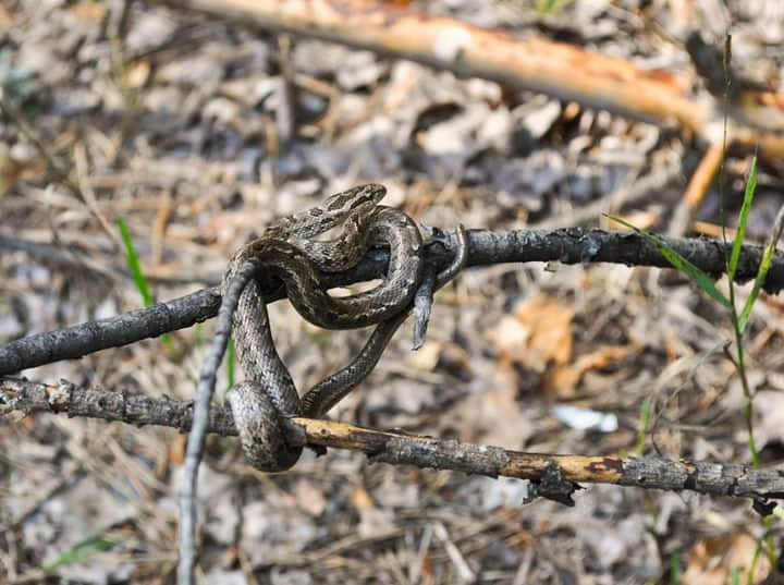 Змеи в подмосковье