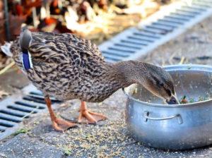 Отравление птиц